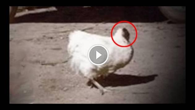Este es Mike, el pollo que vivió más de un año sin cabeza