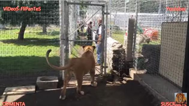 ¡La sorprendente reacción de una leona al ver a su anterior cuidador! [VIDEO]