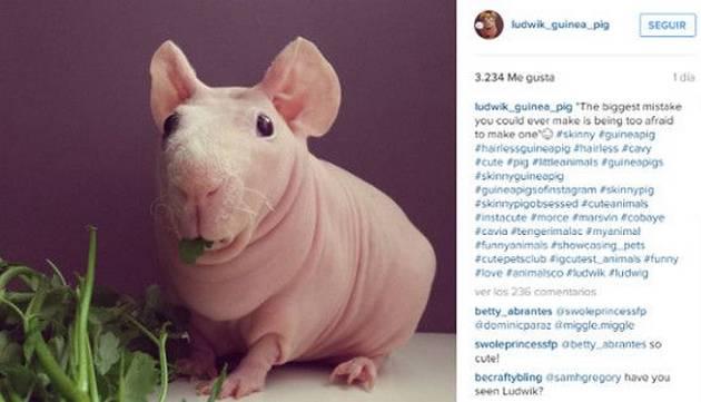 Te presentamos a Ludwik, el cuy sin pelo que la rompe en Instagram