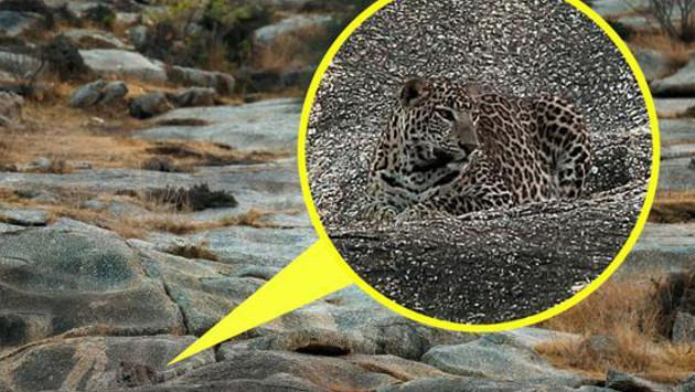 ¿Puedes ubicar al leopardo en esta foto?