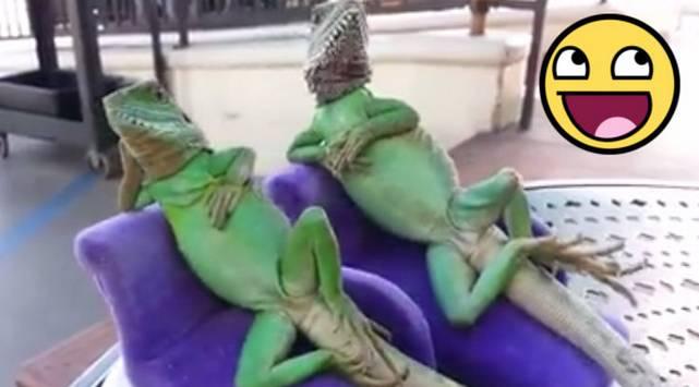 Estas lagartijas 'relajadas' son la sensación de las redes sociales