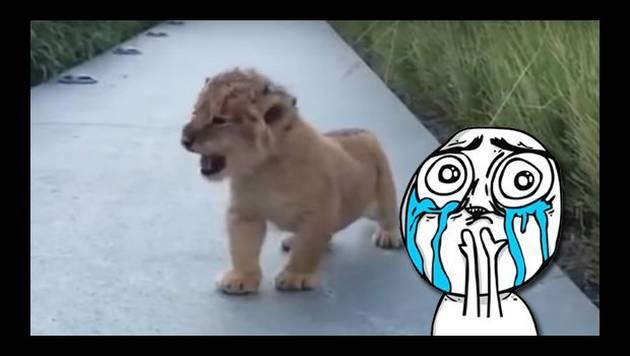 YouTube: Así ruge un cachorro de león
