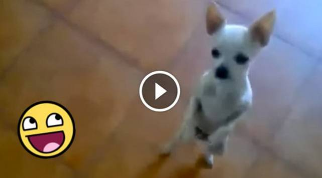 Perrito bailando 'Caballito de palo' es un éxito en Youtube