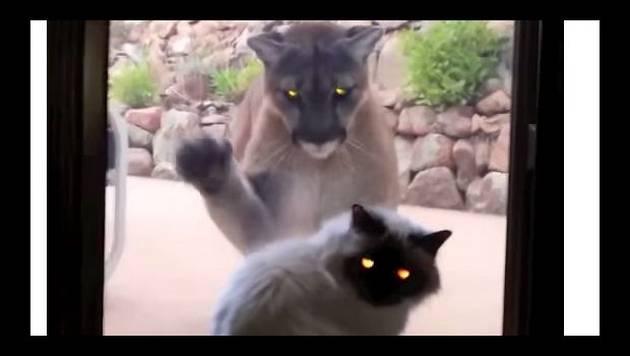 YouTube: ¿Qué sucede cuando un gato y un puma se encuentran?