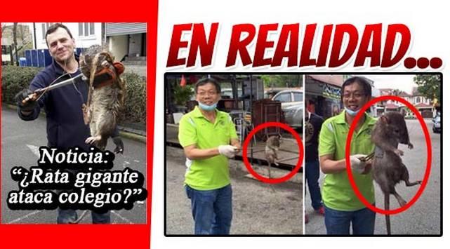 ¿Cazaron una rata gigante? NO CREAS TODO LO QUE LEES EN INTERNET