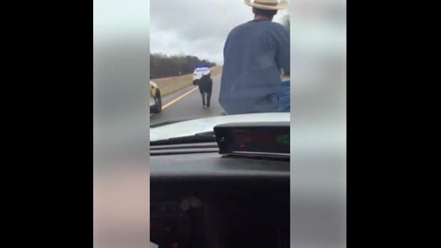 Vaquero es viral por atrapar a un becerro montando un auto de la policía [VIDEO]