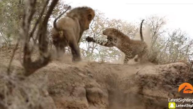 ¡Así fue el encuentro entre un león y un leopardo! [VIDEO]