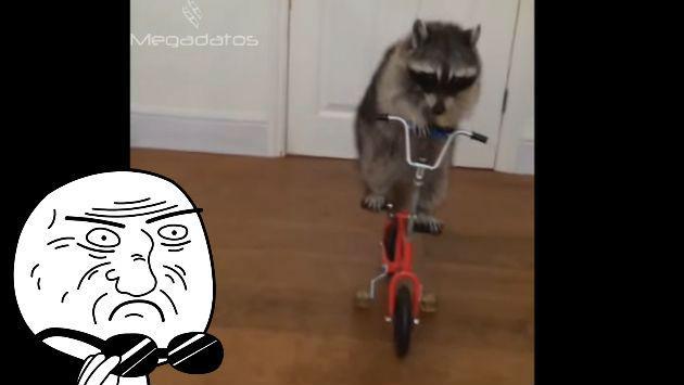 ¿Un mapache montando una bicicleta? ¡Tienes que ver este video!