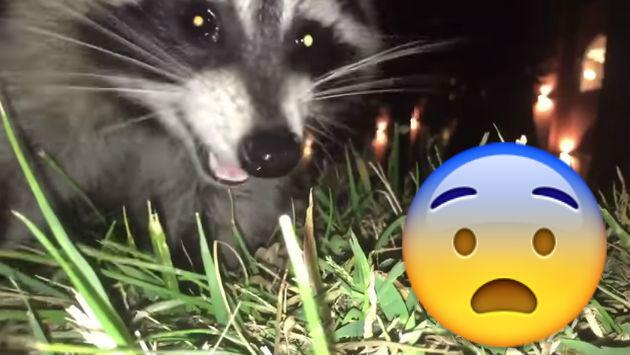 ¡A lo 'Vecinos invasores'! Un mapache robó un celular y grabo su huida