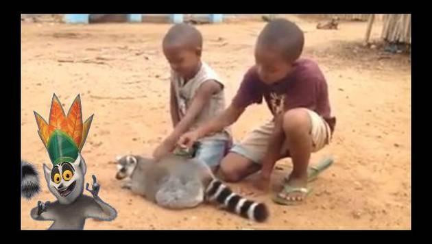 ¡Increíble! A este lémur le acariciaron el lomo y esto pasó