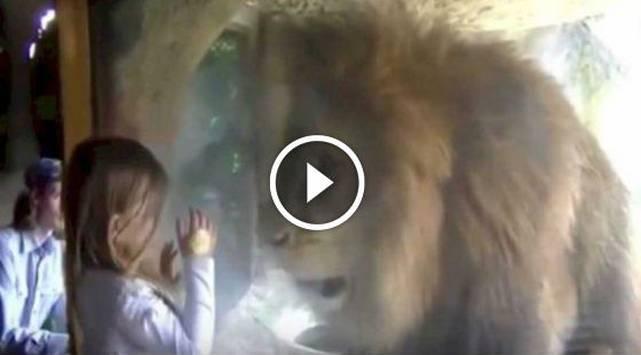 ¡¡¡Qué!!! Niña besó a león y esto pasó