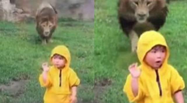 Niño saludó a un león sin saber la reacción que tendría este