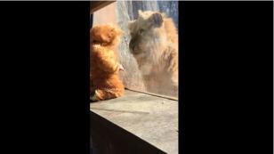 ¡La peculiar reacción de un león al ver a un niño disfrazo como él! [VIDEO]