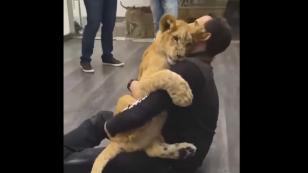 Tigre manifiesta de esta forma el cariño a su cuidador [VIDEO]