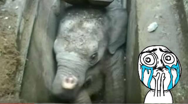 El rescate de este bebé elefante atorado en un desagüe te conmoverá