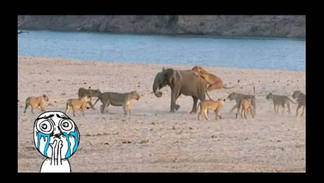 Este pequeño elefante se salvó del ataque de una manada de leones [VIDEO]