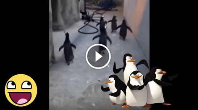Pingüinos intentaron fugar de zoológico ¡A lo Madagascar!
