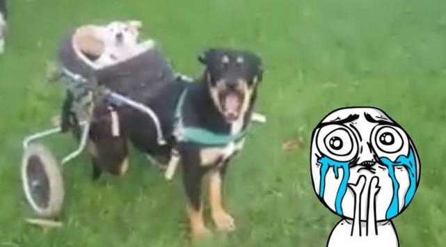 Perro con discapacidad y su amigo ciego y sordo conmueven las redes sociales