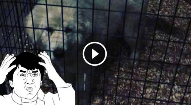 ¡Perros de esta raza pueden llegar a costar 1.5 millones de dólares! [VIDEO]