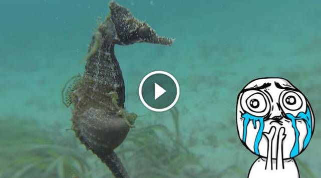 ¡Increíble! Caballito de mar macho dando a luz es la sensación en Youtube