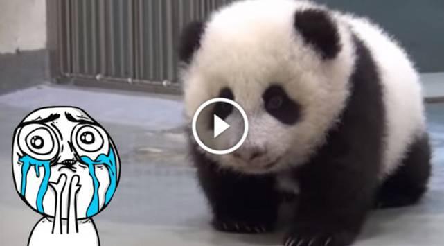¡Este panda bebé no quería dormir hasta que su madre hizo esto!