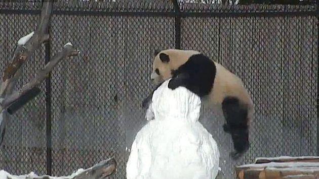 Este panda se le 'achoró' a un muñeco de nieve [VIDEO]
