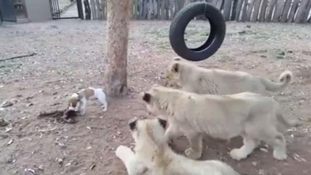 Perro se enfrentó a tres leones por su comida [VIDEO]