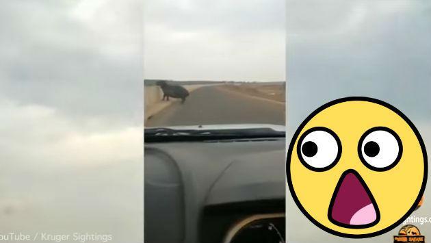 Así reaccionó este hipopótamo al notar la presencia de una camioneta [VIDEO]
