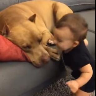 Bebé besa a perro pitbull y este reacciona de forma tierna [VIDEO]