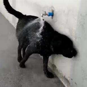 Esta perrita abre sola el caño y se baña sin problemas [VIDEO]