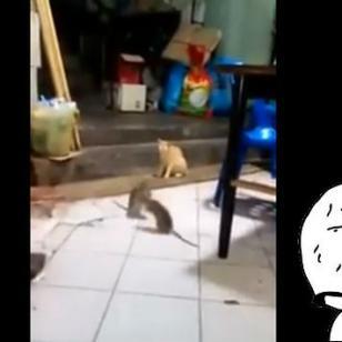 ¡Qué fue! Así reaccionó este gato ante una pelea de ratas