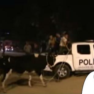 ¿'Arrestan' a una vaca en Tarapoto? Mira este curioso  video