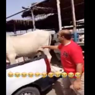 ¡A esta vaca no le gustó que le hagan cosquillas y...!